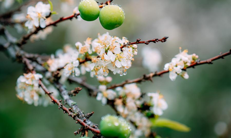 Spring atmosphere pervades popular highland towns