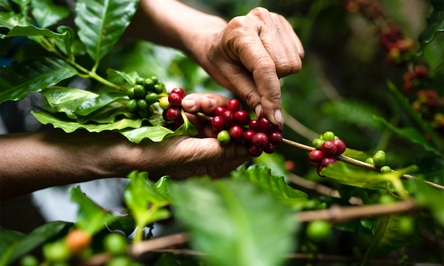 Japanese beverage firm supports sustainable farming in Vietnam